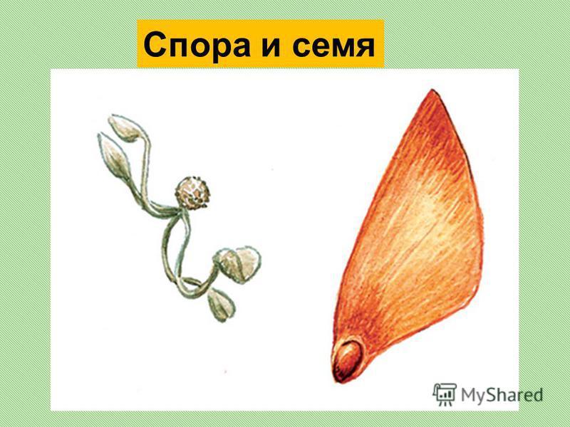 Спора и семя