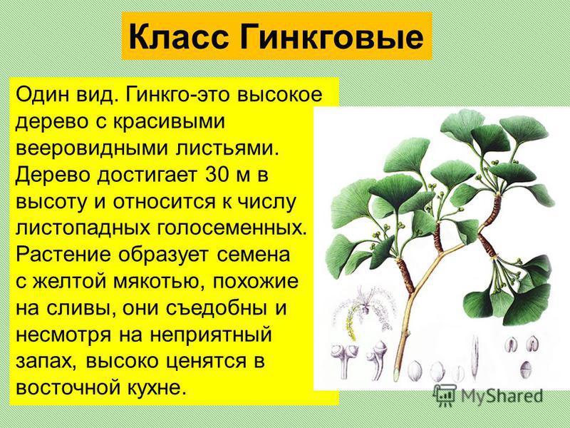 Класс Гинкговые Один вид. Гинкго-это высокое дерево с красивыми вееровидными листьями. Дерево достигает 30 м в высоту и относится к числу листопадных голосеменных. Растение образует семена с желтой мякотью, похожие на сливы, они съедобны и несмотря н