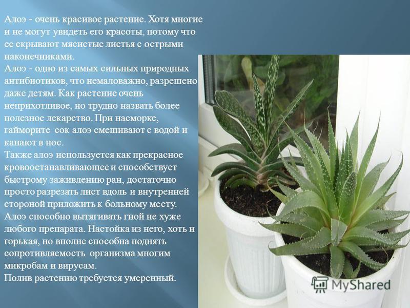 Алоэ - очень красивое растение. Хотя многие и не могут увидеть его красоты, потому что ее скрывают мясистые листья с острыми наконечниками. Алоэ - одно из самых сильных природных антибиотиков, что немаловажно, разрешено даже детям. Как растение очень
