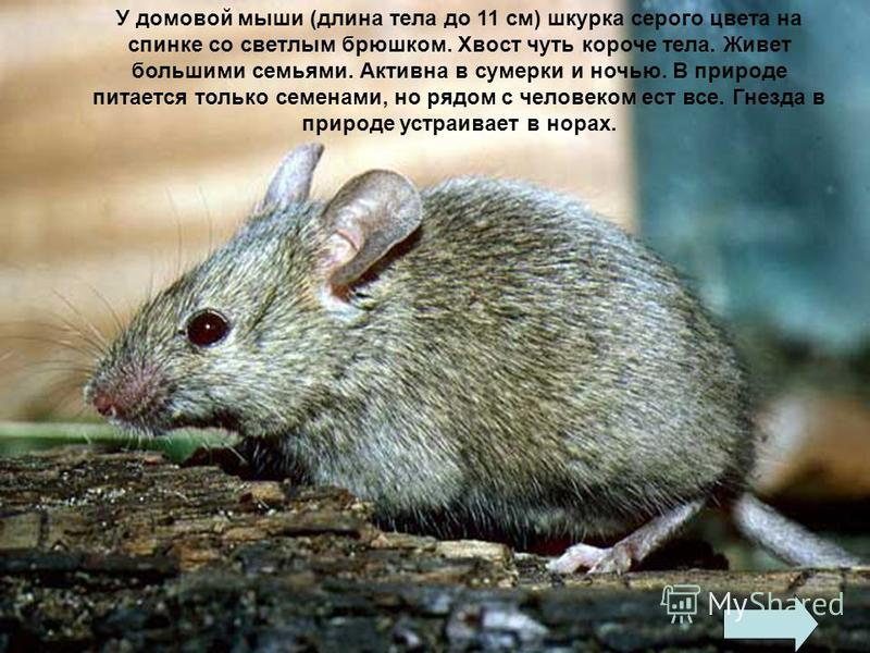 МЫШИ - семейство млекопитающих отряда грызунов. Длина тела от 5 до 49 см.. Хвост длинный, как правило, безволосый или покрыт редкими волосами. Конечности пятипалые. Существует 480 видов. В России встречается домовая, полевая и лесная мышь.