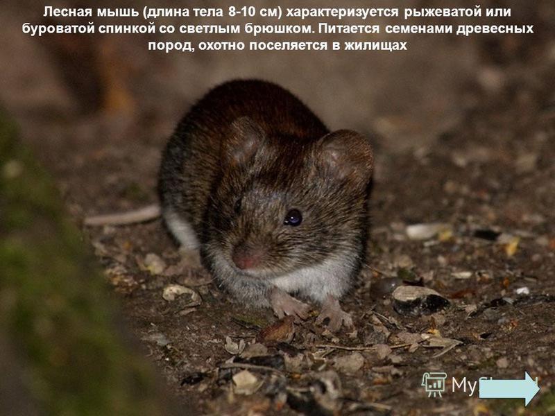 У домовой мыши (длина тела до 11 см) шкурка серого цвета на спинке со светлым брюшком. Хвост чуть короче тела. Живет большими семьями. Активна в сумерки и ночью. В природе питается только семенами, но рядом с человеком ест все. Гнезда в природе устра