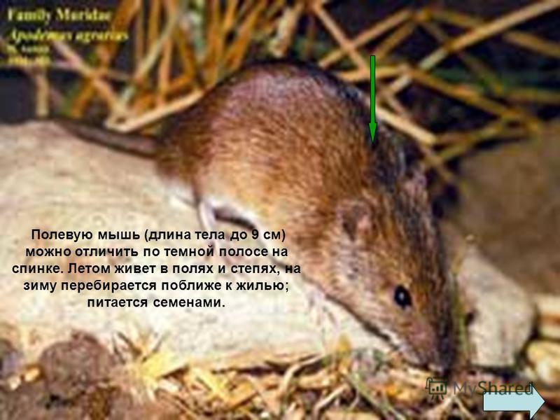 Лесная мышь (длина тела 8-10 см) характеризуется рыжеватой или буроватой спинкой со светлым брюшком. Питается семенами древесных пород, охотно поселяется в жилищах