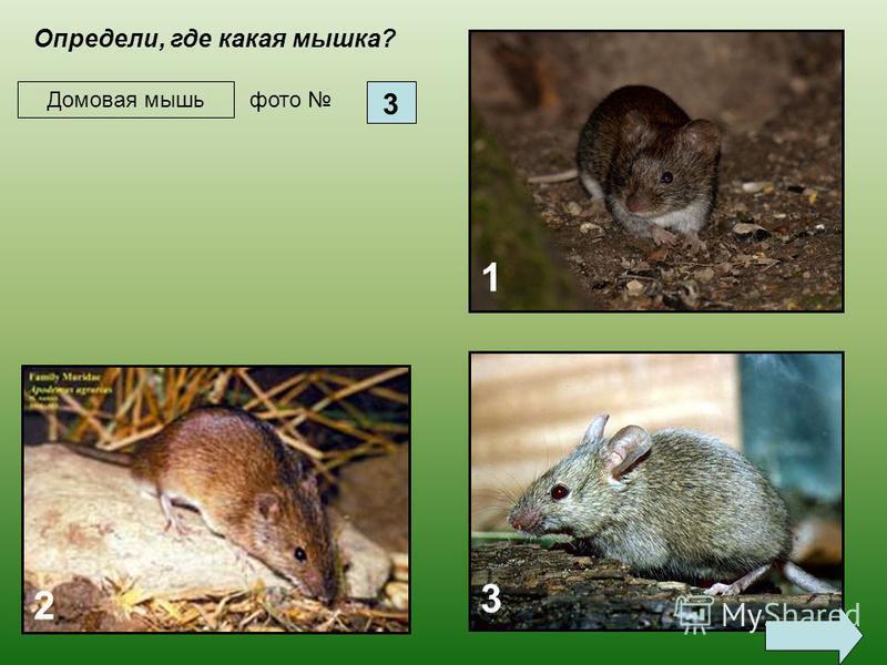 Полевую мышь (длина тела до 9 см) можно отличить по темной полосе на спинке. Летом живет в полях и степях, на зиму перебирается поближе к жилью; питается семенами.