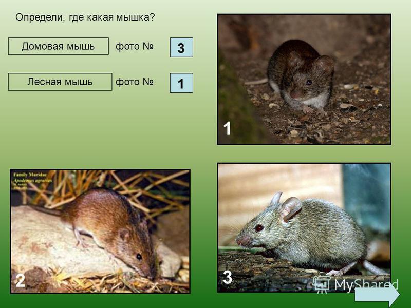 Домовая мышь 1 2 3 Определи, где какая мышка? фото 3