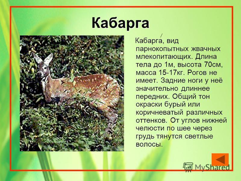 Кабарга Кабарга, вид парнокопытных жвачных млекопитающих. Длина тела до 1 м, высота 70 см, масса 15-17 кг. Рогов не имеет. Задние ноги у неё значительно длиннее передних. Общий тон окраски бурый или коричневатый различных оттенков. От углов нижней че