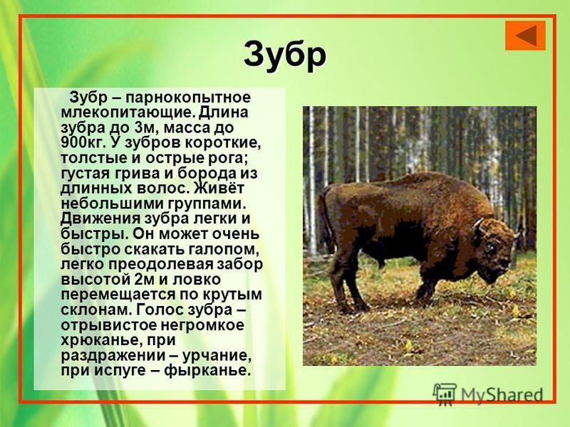 Зубр Зубр – парнокопытное млекопитающие. Длина зубра до 3 м, масса до 900 кг. У зубров короткие, толстые и острые рога; густая грива и борода из длинных волос. Живёт небольшими группами. Движения зубра легки и быстры. Он может очень быстро скакать га