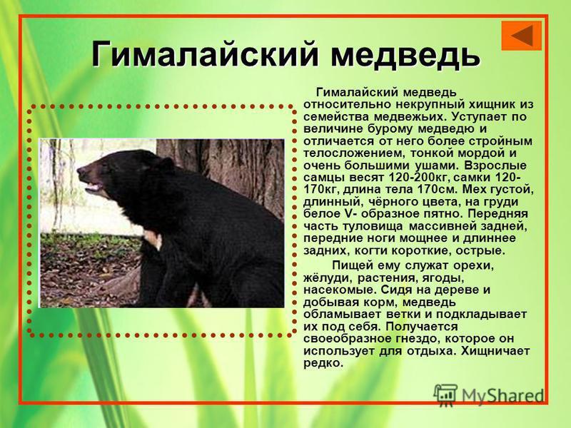 Гималайский медведь Гималайский медведь относительно некрупный хищник из семейства медвежьих. Уступает по величине бурому медведю и отличается от него более стройным телосложением, тонкой мордой и очень большими ушами. Взрослые самцы весят 120-200 кг
