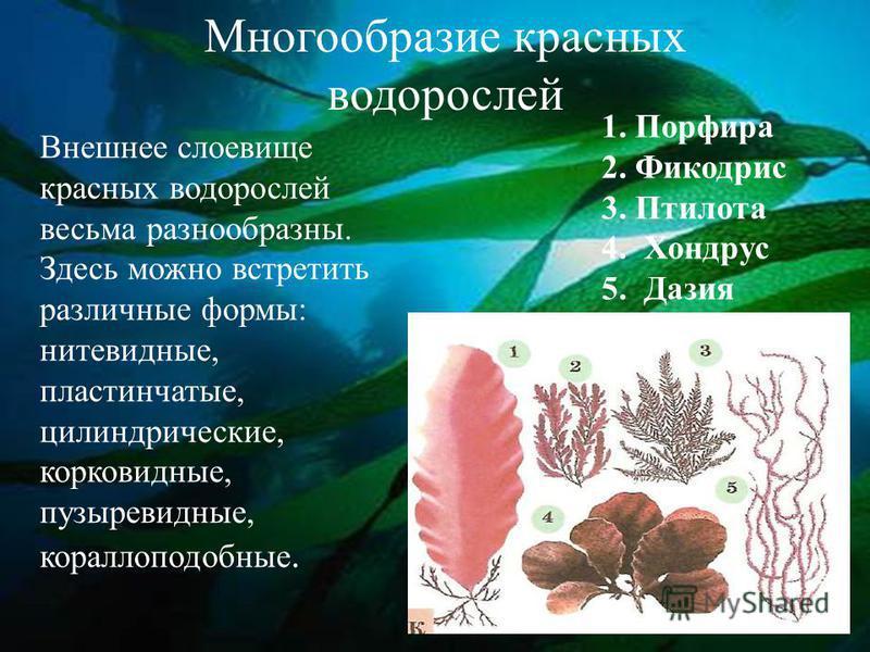 Многообразие красных водорослей Внешнее слоевище красных водорослей весьма разнообразны. Здесь можно встретить различные формы: нитевидные, пластинчатые, цилиндрические, корковидные, пузыревидные, кораллоподобные. 1. Порфира 2. Фикодрис 3. Птилота 4.