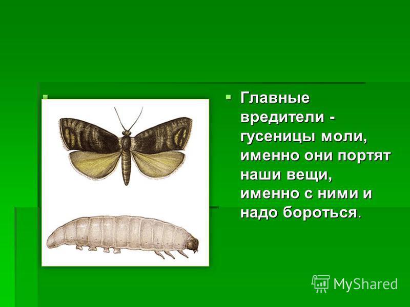 Главные вредители - гусеницы моли, именно они портят наши вещи, именно с ними и надо бороться. Главные вредители - гусеницы моли, именно они портят наши вещи, именно с ними и надо бороться.