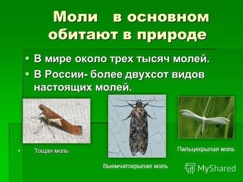 Моли в основном обитают в природе Моли в основном обитают в природе В мире около трех тысяч молей. В мире около трех тысяч молей. В России- более двухсот видов настоящих молей. В России- более двухсот видов настоящих молей. Тощая моль Тощая моль Выем