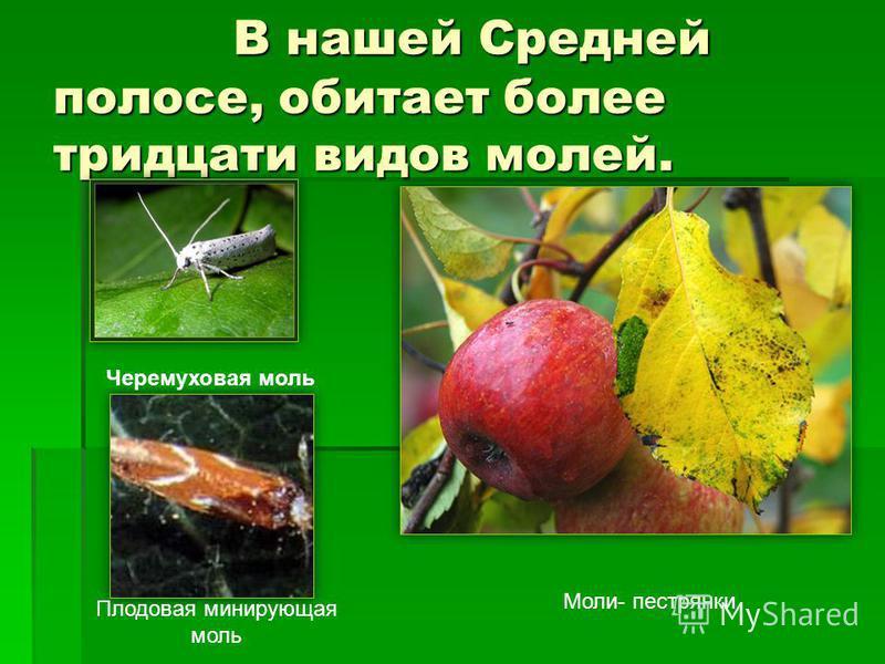 В нашей Средней полосе, обитает более тридцати видов молей. В нашей Средней полосе, обитает более тридцати видов молей. Моли- пестрянки Черемуховая моль Плодовая минирующая моль