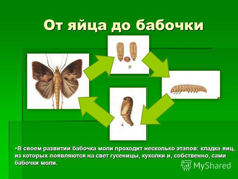 От яйца до бабочки От яйца до бабочки В своем развитии бабочка моли проходит несколько этапов: кладка яиц, из которых появляются на свет гусеницы, куколки и, собственно, сами бабочки моли. В своем развитии бабочка моли проходит несколько этапов: клад