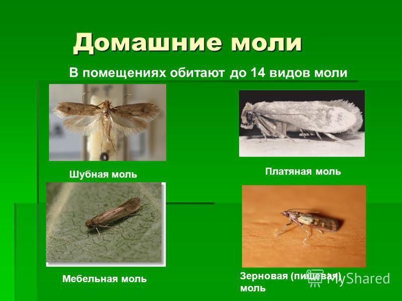Домашние моли Домашние моли Платяная моль Шубная моль Мебельная моль Зерновая (пищевая) моль В помещениях обитают до 14 видов моли