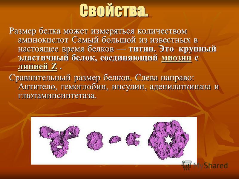 Свойства. Размер белка может измеряться количеством аминокислот Самый большой из известных в настоящее время белков титин. Это крупный эластичный белок, соединяющий миозин с линией Z. миозин линией Zмиозин линией Z Сравнительный размер белков. Слева