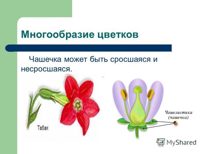 Многообразие цветков Чашечка может быть сросшаяся и несросшаяся.