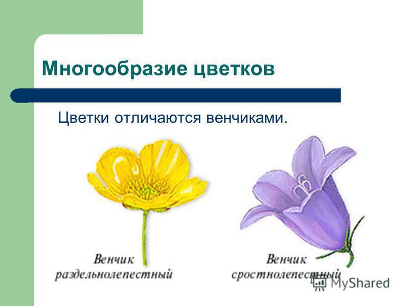 Многообразие цветков Цветки отличаются венчиками.