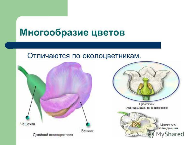 Многообразие цветов Отличаются по околоцветникам.