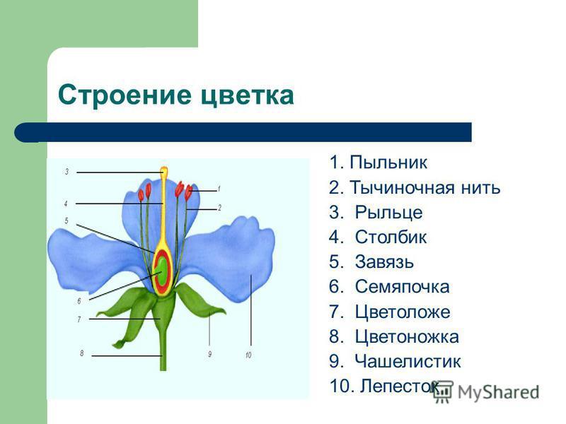Строение цветка 1. Пыльник 2. Тычиночная нить 3. Рыльце 4. Столбик 5. Завязь 6. Семяпочка 7. Цветоложе 8. Цветоножка 9. Чашелистик 10. Лепесток