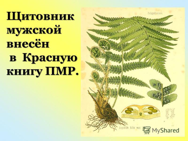 Щитовник мужской внесён в Красную в Красную книгу ПМР.