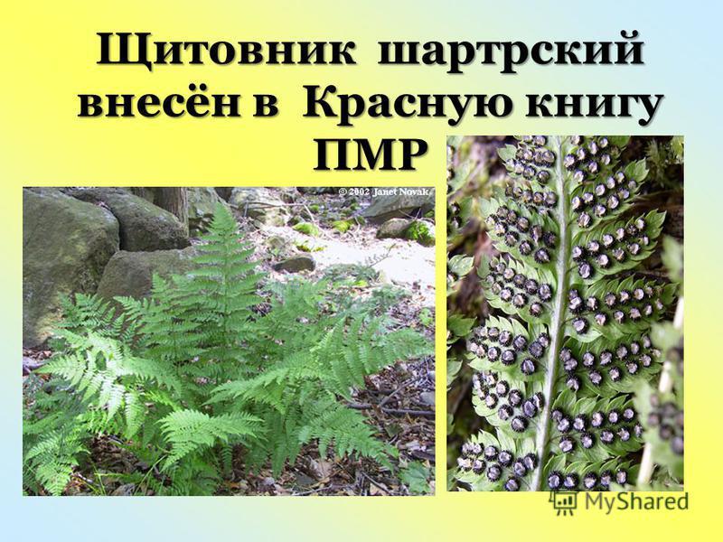 Щитовник шартрский внесён в Красную книгу ПМР