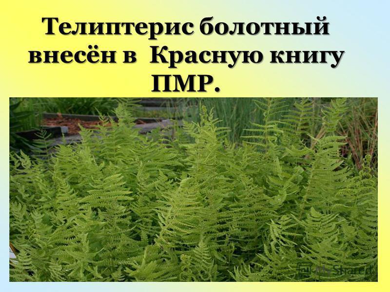 Телиптерис болотный внесён в Красную книгу ПМР.