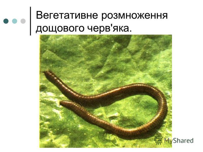 Вегетативне розмноження дощового черв'яка.