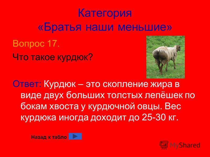 Категория «Братья наши меньшие» Вопрос 17. Что такое курдюк? Ответ: Курдюк – это скопление жира в виде двух больших толстых лепёшек по бокам хвоста у курдючной овцы. Вес курдюка иногда доходит до 25-30 кг. Назад к табло
