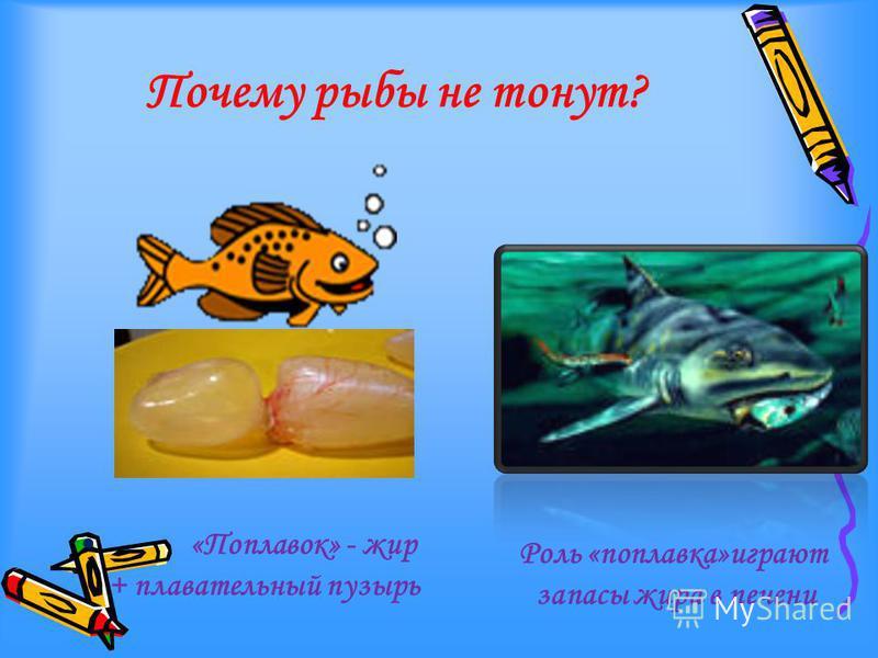 Почему рыбы не тонут? «Поплавок» - жир + плавательный пузырь Роль «поплавка»играют запасы жира в печени