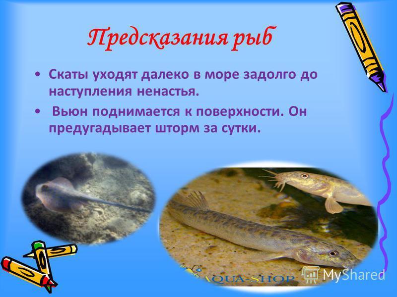 Предсказания рыб Скаты уходят далеко в море задолго до наступления ненастья. Вьюн поднимается к поверхности. Он предугадывает шторм за сутки.