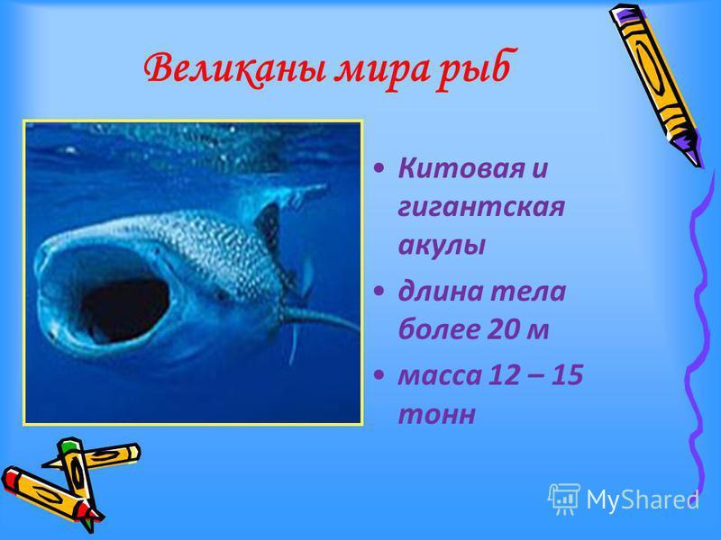 Великаны мира рыб Китовая и гигантская акулы длина тела более 20 м масса 12 – 15 тонн