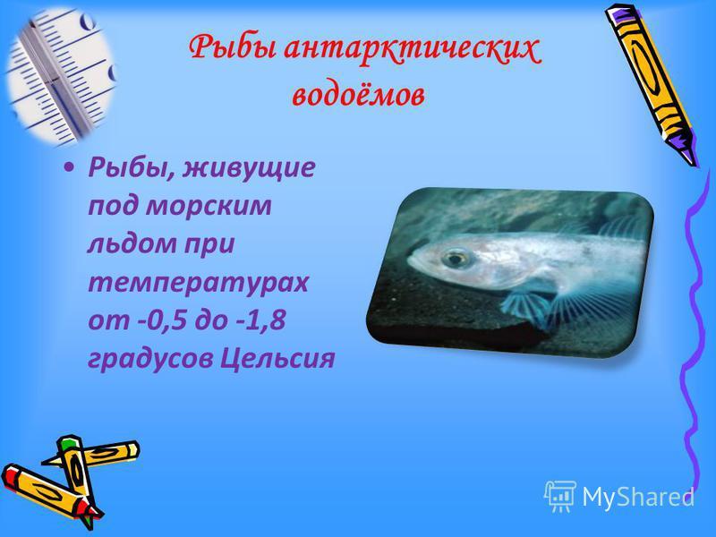 Рыбы антарктических водоёмов Рыбы, живущие под морским льдом при температурах от -0,5 до -1,8 градусов Цельсия