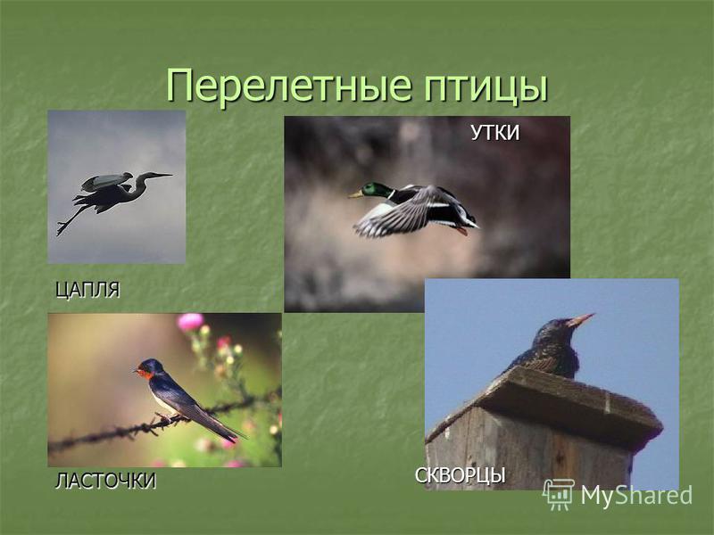 Перелетные птицы – это птицы, которые улетают в другие страны с наступлением осени из-за недостатка корма Перелетные птицы – это птицы, которые улетают в другие страны с наступлением осени из-за недостатка корма Кочующие птицы – это птицы, которые ко