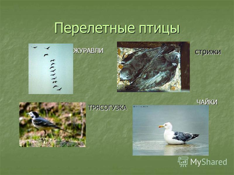 Перелетные птицы ЦАПЛЯ УТКИ СКВОРЦЫ ЛАСТОЧКИ