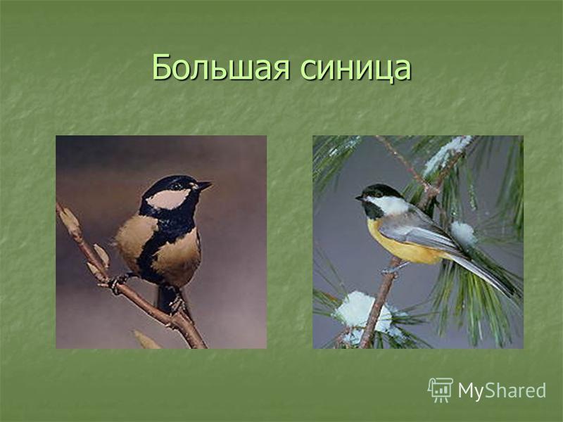 Птицы нашего края Спинкою зеленовата, животиком желтовата, черненькая шапочка и полоска шарфика.