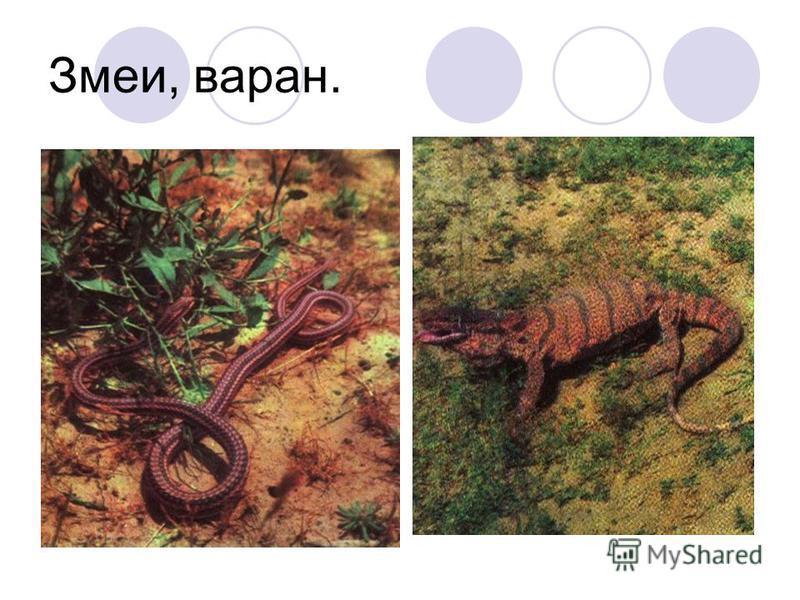 Змеи, варан.