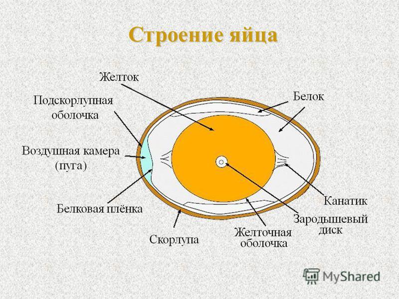 Схемa строения яйцa куриного