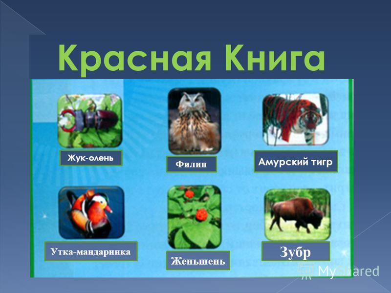 Красная Книга Жук-олень Филин Амурский тигр Утка-мандаринка Женьшень Зубр
