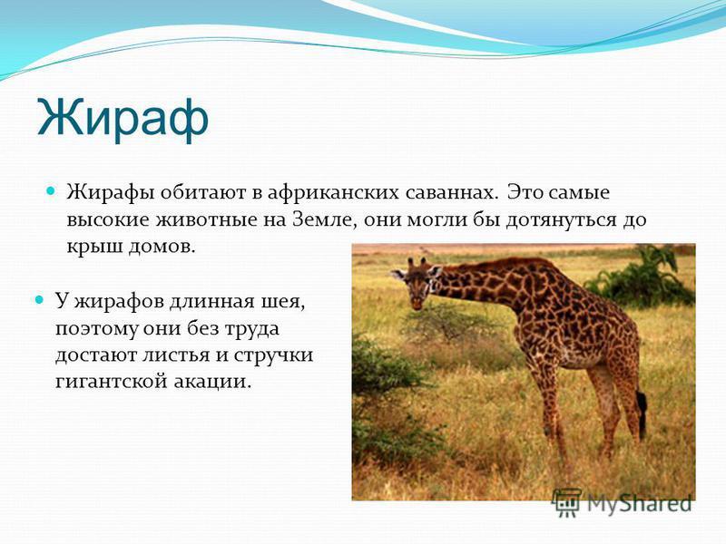 Жираф Жирафы обитают в африканских саваннах. Это самые высокие животные на Земле, они могли бы дотянуться до крыш домов. У жирафов длинная шея, поэтому они без труда достают листья и стручки гигантской акации.