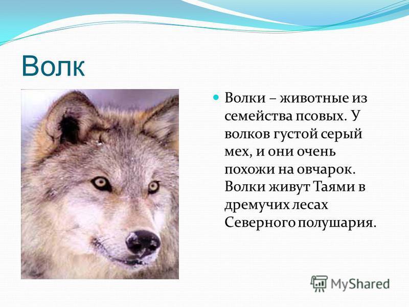 Волк Волки – животные из семейства псовых. У волков густой серый мех, и они очень похожи на овчарок. Волки живут Таями в дремучих лесах Северного полушария.