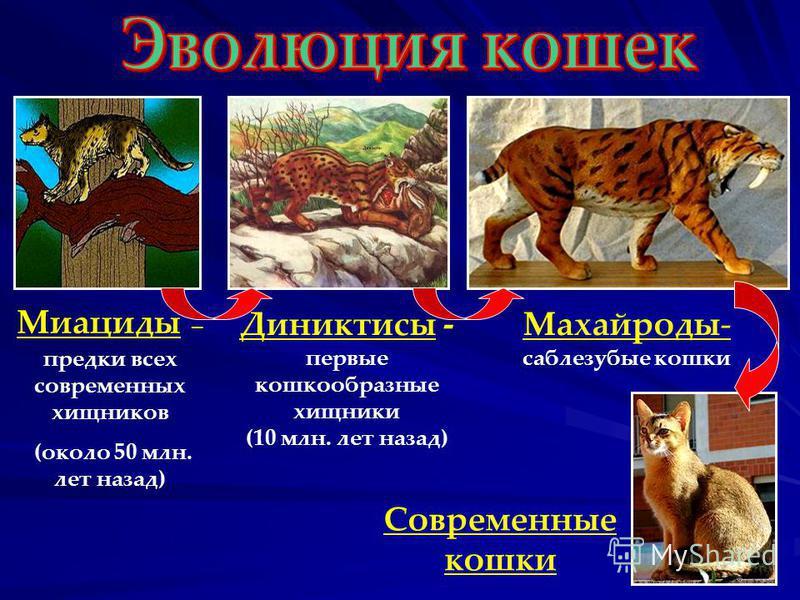 Миациды – предки всех современных хищников (около 50 млн. лет назад) Диниктисы - первые кошкообразные хищники (10 млн. лет назад) Махайроды- саблезубые кошки Современные кошки