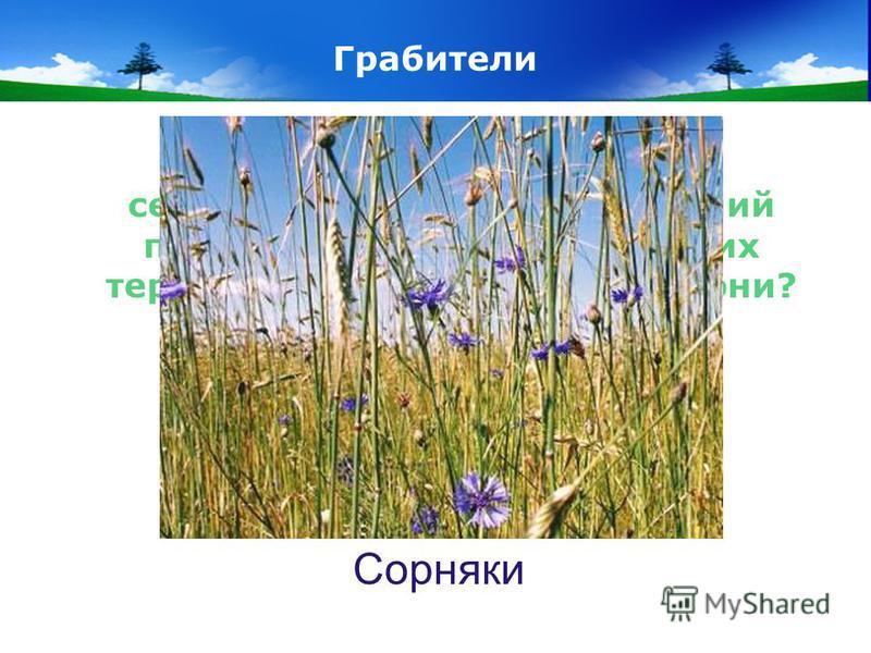 www.themegallery.com Company Logo Грабители Они отнимают у сельскохозяйственных растений питание, свет, влагу. Из-за них теряется до 2 ц с гектара. Кто они? Сорняки