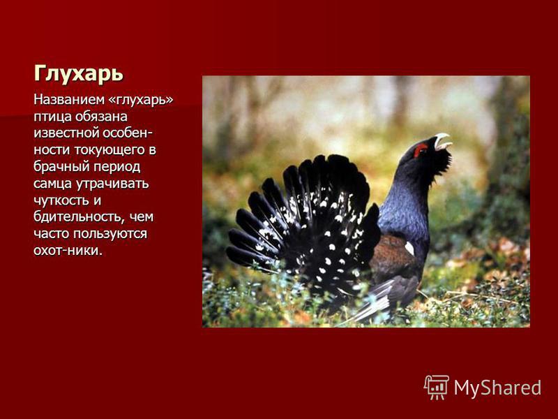 Глухарь Названием «глухарь» птица обязана известной особенности токующего в брачный период самца утрачивать чуткость и бдительность, чем часто пользуются охот-ники.