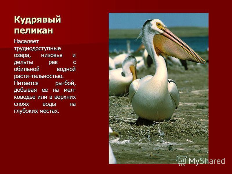 Кудрявый пеликан Населяет труднодоступные озера, низовья и дельты рек с обильной водной расти-тельностью. Питается ры-бой, добывая ее на мелководье или в верхних слоях воды на глубоких местах.