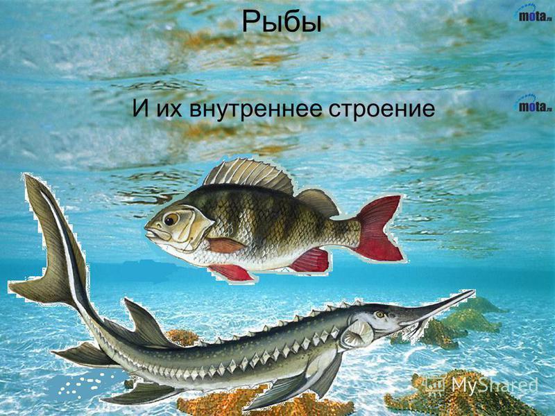 Рыбы И их внутреннее строение