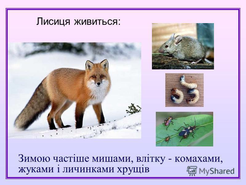 Зимою частіше мишами, влітку - комахами, жуками і личинками хрущів Лисиця живиться: