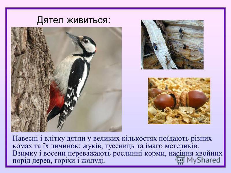 Навесні і влітку дятли у великих кількостях поїдають різних комах та їх личинок: жуків, гусениць та імаго метеликів. Взимку і восени переважають рослинні корми, насіння хвойних порід дерев, горіхи і жолуді. Дятел живиться:
