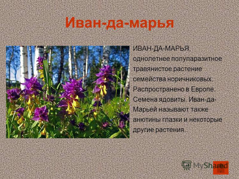 Иван-да-марья ИВАН-ДА-МАРЬЯ, однолетнее полупаразитное травянистое растение семейства норичниковых. Распространено в Европе. Семена ядовиты. Иван-да- Марьей называют также анютины глазки и некоторые другие растения.