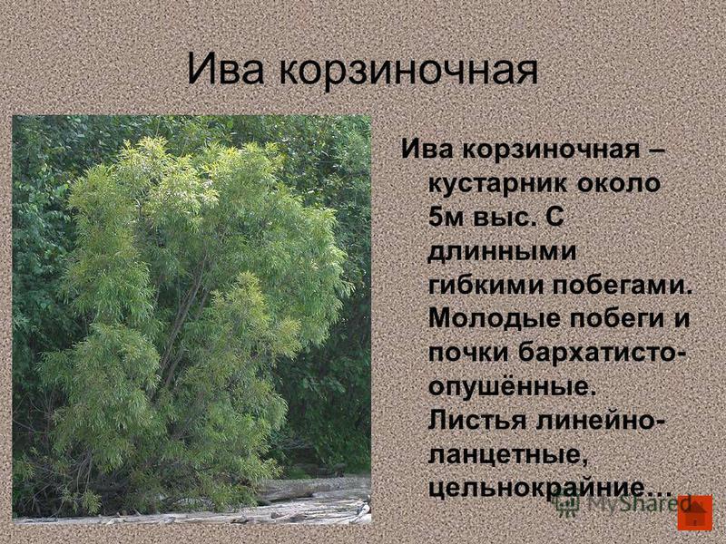 Ива корзиночная Ива корзиночная – кустарник около 5 м выс. С длинными гибкими побегами. Молодые побеги и почки бархатисто- опушённые. Листья линейно- ланцетные, цельнокрайние…