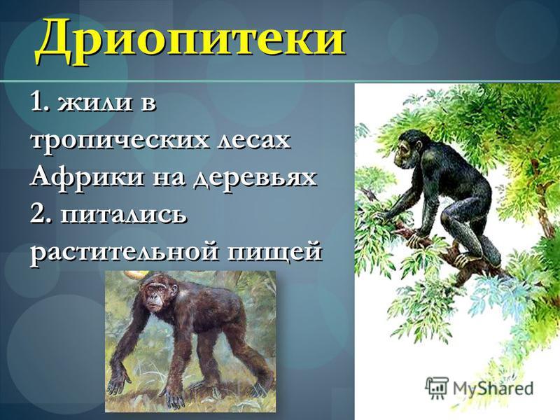 Дриопитеки 1. жили в тропических лесах Африки на деревьях 2. питались растительной пищей 1. жили в тропических лесах Африки на деревьях 2. питались растительной пищей