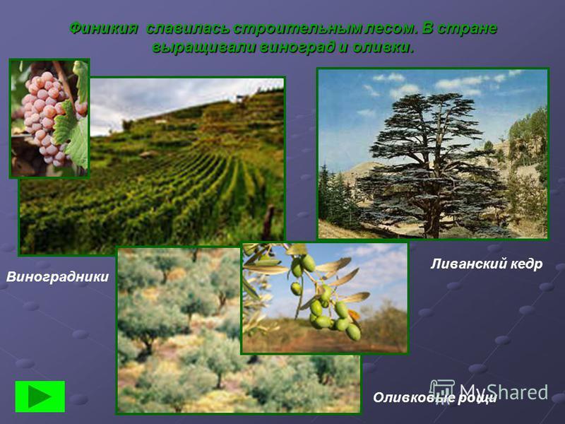 Финикия славилась строительным лесом. В стране выращивали виноград и оливки. Ливанский кедр Оливковые рощи Виноградники